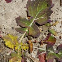 Emerging leaves are distorted and discoloured; leaf blades become cupped and crinkly