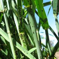 Oat aphid colonies visible on outside of tillers, stems, nodes and backs of leaves.