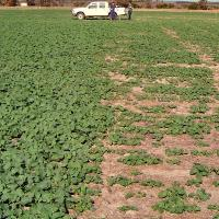 Claying (left) is a long term method for overcoming water repellence