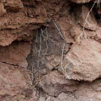Roots are thickened and confined to cracks.