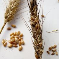 Weather affected wheat grain capable of harbouring mycotoxins