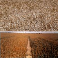 Mildly deficient plants have weak straw. Severe deficiency causes sterile heads and delayed maturity.