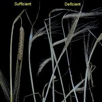 At maturity deficient plants vary from bleached with disordered heads to stunted and dark with shrivelled heads.