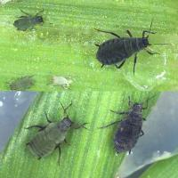 Corn aphids range from light green to dark olive-green