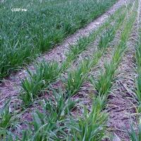 CSBP oat nutrition trial showing oat crop with symptoms of potassium deficiency