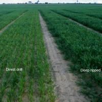 Less vigourous often nitrogen deficient plants on compacted soil.