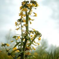 Flattened strap-like flowering stem