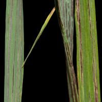 Long grey-black streaks with powdery black spores (that rub off easily) on leaves, leaf sheaths and occasionally stems.