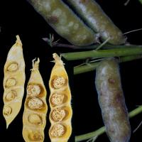 Pale pod surface spots and brown mushy lesions and dead discoloured seed
