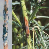 Large sunken lesions can girdle stems and branches and kill plants. Mature lesions have grey fuzzy mould