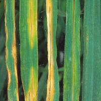 Straw or brown colour spots surrounded by a yellow water-soaked halo than may resemble septoria