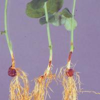 Field pea hypocotyl rot