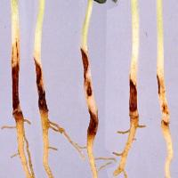 Reddish-brown lesions on the hypocotyl
