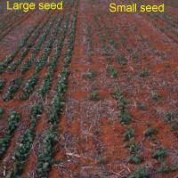 Plants from small seed has less vigour and lower yield