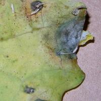 Pale watery leaf lesions that are caused by discarded infected petals