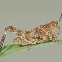 Nymph locusts resemble adults but lack wings