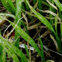 Close up of young wheat in the paddock showing severe wheat damage caused by Lucerne flea.