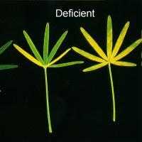 Older leaf leaflets drop, and have total or mottled chlorosis