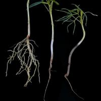 Root growth is severely affected, young plants develop a mushy hypocotyl