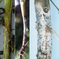 White fungal area with embedded sclerotes girdling the stem after plant death
