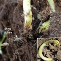Plants may emerge then curve back into the soil