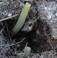 Young plants are severed completely