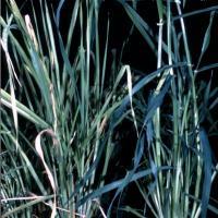 Diagnosing Magnesium Deficiency In Barley | Agriculture ...