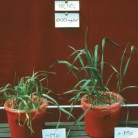 Molybdenum deficient plants appear to be limp