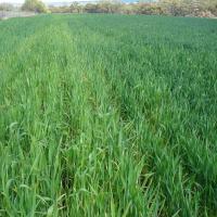 Nitrogen deficiency on unburnt header row
