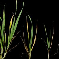 Deficient plants are smaller with yellow leaves and fewer tillers
