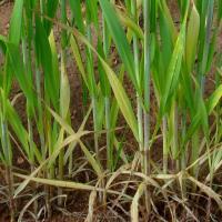 Reddened stems occur on some varieties