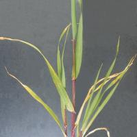 Stems may be pale pink or develop red stripes