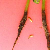 Seedlings with a brown mushy root/hypocotyl and cream maggots with dark jaws