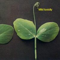 Middle leaf yellow marginal necrosis on dun-type pea