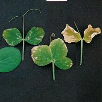 Degrees of potassium deficiency in old leaves