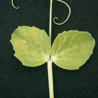Severely affected leaved develop randomly distributed light brown chlorotic spots