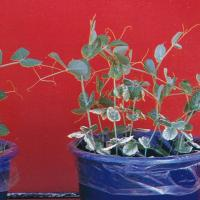 Older leaves are affected first