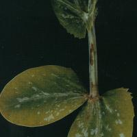 Red-brown lesions develop on new leaf and upper main stems
