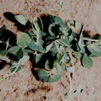 Young growth twists rapidly after herbicide application