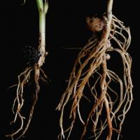 Brown roots may have poor nodulation and root death