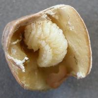 Split infested seed at early harvest (below), developing larva (top)