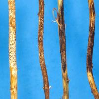 Dry stems with bleached and patterned stem lesions that contain black fruiting bodies
