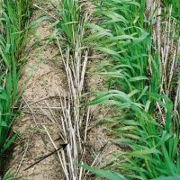 Poor seed soil contact can cause variable emergence and tiller numbers