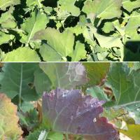 Hybrids can show leaf purpling with adequate N and S nutrition