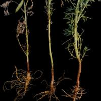 Roots may look normal before death