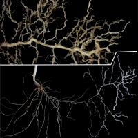 Cereal roots may be visibly thickened and compressed.