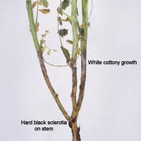 Sclerotinia stem rot infected chickpea