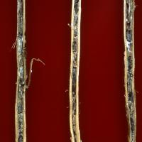 Stem rot sclerotes packed inside infected lupin stems