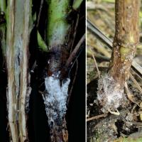 Sclerotes do not occur inside the infected stem