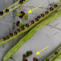 Late frost causes shrivelled seed that may retain its green colour and affect oil quality